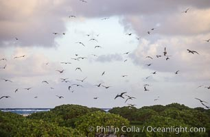 Seabirds fly over Pisonia forest, Rose Atoll National Wildlife Refuge, Rose Atoll National Wildlife Sanctuary