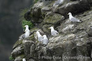 Image 17383, Seabirds nest on coastal rocks. Kenai Fjords National Park, Alaska, USA