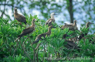 Seabirds in Pisonia forest, Rose Atoll National Wildlife Refuge, Rose Atoll National Wildlife Sanctuary