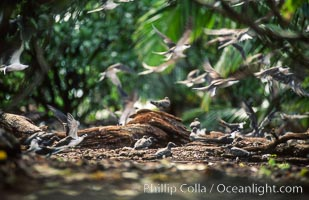Seabirds shelter among Pisonia trees on Rose Atoll, Rose Atoll National Wildlife Refuge