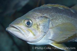 Yellowtail rockfish, Sebastes flavidus