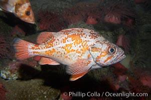 Vermillion rockfish., Sebastes miniatus, natural history stock photograph, photo id 11862