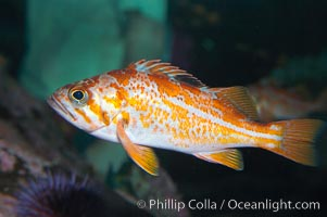 Canary rockfish, juvenile.  The bright orange color of this rockfish will not be so visible at depth, where seawater filters out the red lightwaves that allow this color to be seen, Sebastes pinniger