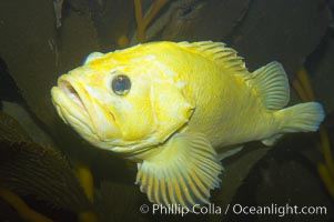Grass rockfish.  Most grass rockfish are olive green.  This one yellow, an uncommon genetic variation, Sebastes rastrelliger
