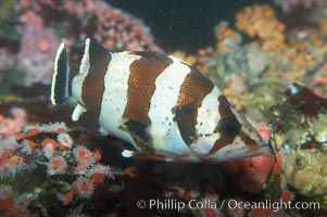 Image 11788, Flag rockfish., Sebastes rubrivinctus, Phillip Colla, all rights reserved worldwide. Keywords: animal, california baja california, creature, fish, flag rockfish, indo-pacific, marine, marine fish, nature, ocean, rockfish scorpionfish, rocote bandera, sea, sebastes rubrivinctus, teleost fish, underwater, wildlife.