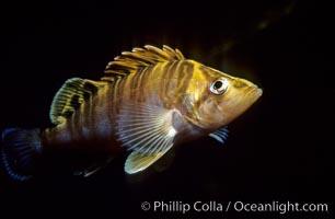 Juvenile treefish among offshore drift kelp, Sebastes serriceps, San Diego, California