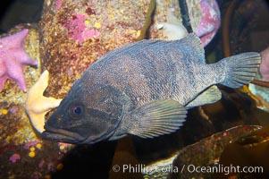Unidentified rockfish, Sebastes