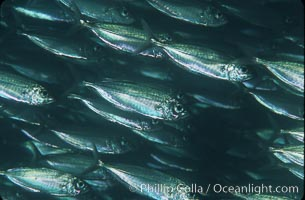 Bigeye scad, schooling. Sea of Cortez, La Paz, Baja California, Mexico, Selar crumenophthalmus, natural history stock photograph, photo id 04783