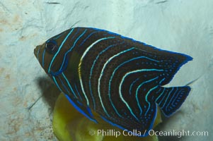 Image 07926, Semicircle angelfish, juvenile form., Pomacanthus semicirculatus, Phillip Colla, all rights reserved worldwide. Keywords: adult - juvenile difference, angelfish, animal, color and pattern, fish, fish anatomy, half-circled angelfish, indo-pacific, juvenile, koran angel, koran angelfish, marine fish, pomacanthus semicirculatus, semicircle angelfish, stripe, underwater.