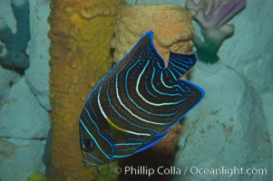Semicircle angelfish, juvenile form., Pomacanthus semicirculatus, natural history stock photograph, photo id 07928