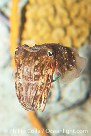 Common cuttlefish., Sepia officinalis, natural history stock photograph, photo id 07806