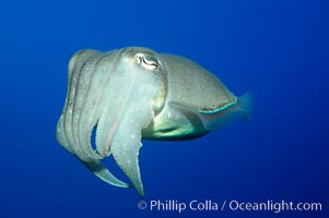 Common cuttlefish., Sepia officinalis, natural history stock photograph, photo id 10304