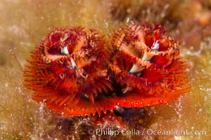 Serpulid polychaete Christmas Tree Worm, Sea of Cortez, Isla San Diego, Baja California, Mexico