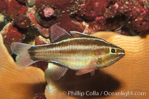 Sevenstriped cardinalfish., Apogon novemfasciatus, natural history stock photograph, photo id 08682