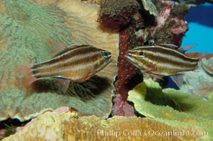 Sevenstriped cardinalfish., Apogon novemfasciatus, natural history stock photograph, photo id 09363