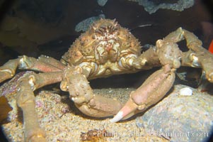 Sheep crab, Loxorhynchus grandis