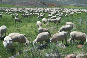 Sheep grazing in grass meadow, near Bodie Town, Bodie State Historical Park, California