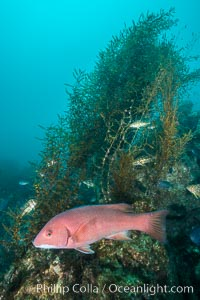Sheephead and invasive sargassum, Catalina, Semicossyphus pulcher, Sargassum horneri, Catalina Island