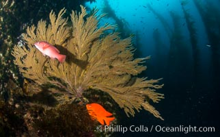 California golden gorgonian, Garibaldi and Sheephead wrasse fishes on rocky reef, below kelp forest, underwater. The golden gorgonian is a filter-feeding temperate colonial species that lives on the rocky bottom at depths between 50 to 200 feet deep. Each individual polyp is a distinct animal, together they secrete calcium that forms the structure of the colony. Gorgonians are oriented at right angles to prevailing water currents to capture plankton drifting by, Semicossyphus pulcher, Hypsypops rubicundus, Muricea californica, San Clemente Island