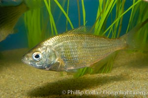 Shiner perch., Cymatogaster aggregata, natural history stock photograph, photo id 09811