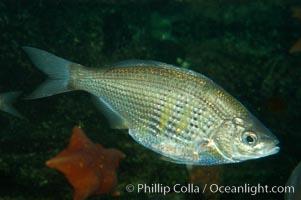 Shiner perch., Cymatogaster aggregata, natural history stock photograph, photo id 08918