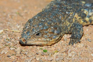 Image 12572, Shingleback lizard.  This lizard has a fat tail shaped like its head, which can fool predators into attacking the wrong end of the shingleback., Trachydosaurus