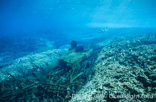 Keel scar caused by F/V Jin Shiang Fa to coralline algae reef. Rose Atoll National Wildlife Sanctuary, American Samoa, USA, natural history stock photograph, photo id 00806