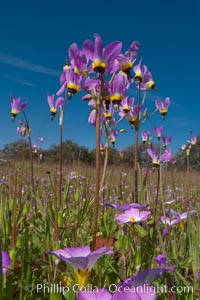 Shooting stars, a springtime flower, blooming on the Santa Rosa Plateau, Dodecatheon clevelandii, Santa Rosa Plateau Ecological Reserve, Murrieta, California