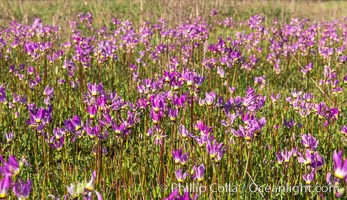 Shooting stars, a springtime flower, blooming on the Santa Rosa Plateau. Santa Rosa Plateau Ecological Reserve, Murrieta, California, USA, natural history stock photograph, photo id 33152