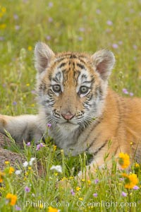 Siberian tiger cub, male, 10 weeks old., Panthera tigris altaica, natural history stock photograph, photo id 15990