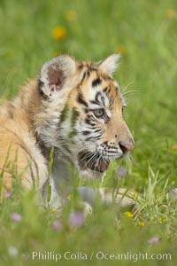 Siberian tiger cub, male, 10 weeks old., Panthera tigris altaica, natural history stock photograph, photo id 15999