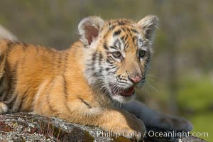 Siberian tiger cub, male, 10 weeks old., Panthera tigris altaica, natural history stock photograph, photo id 16012
