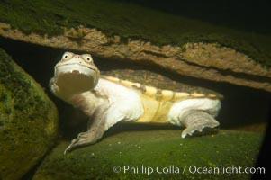 Siebenrocks snakeneck turtle, Chelodina siebenrocki