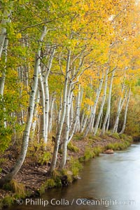 Bishop Creek and aspen trees in autumn, in the eastern Sierra Nevada mountains. Bishop Creek Canyon Sierra Nevada Mountains, Bishop, California, USA, Populus tremuloides, natural history stock photograph, photo id 26074