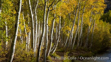 Bishop Creek and aspen trees in autumn, in the eastern Sierra Nevada mountains. Bishop Creek Canyon Sierra Nevada Mountains, California, USA, Populus tremuloides, natural history stock photograph, photo id 26076