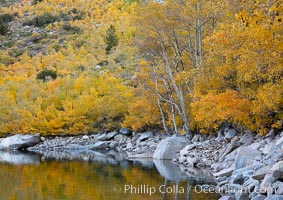 Aspen trees display Eastern Sierra fall colors, Lake Sabrina, Bishop Creek Canyon. Bishop Creek Canyon, Sierra Nevada Mountains, Bishop, California, USA, Populus tremuloides, natural history stock photograph, photo id 17510