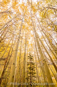 Quaking Aspen Trees, Sierra Nevada Fall Colors, Bishop Creek Canyon, Populus tremuloides, Bishop Creek Canyon, Sierra Nevada Mountains