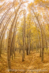 Quaking Aspen Trees during autumn, Bishop Creek Canyon, Populus tremuloides, Bishop Creek Canyon, Sierra Nevada Mountains