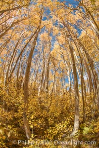 Aspen Trees and Sierra Nevada Fall Colors, Bishop Creek Canyon, Populus tremuloides, Bishop Creek Canyon, Sierra Nevada Mountains