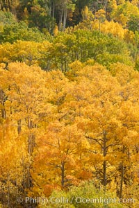 Aspen Trees and Sierra Nevada Fall Colors, Bishop Creek Canyon. Bishop Creek Canyon, Sierra Nevada Mountains, California, USA, Populus tremuloides, natural history stock photograph, photo id 36455