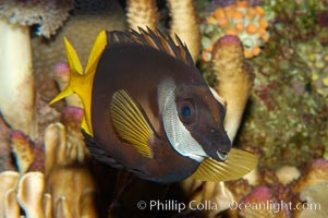Bicolored foxface rabbitfish, Siganus uspi