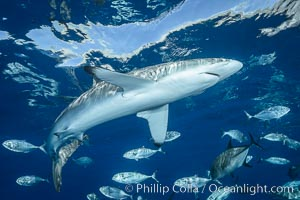 Silky Shark at San Benedicto Islands, Revillagigedos, Mexico. Socorro Island (Islas Revillagigedos), Baja California, Carcharhinus falciformis, natural history stock photograph, photo id 33310