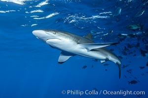 Silky Shark at San Benedicto Islands, Revillagigedos, Mexico. Socorro Island (Islas Revillagigedos), Baja California, Mexico, Carcharhinus falciformis, natural history stock photograph, photo id 33311