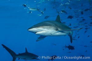 Silky Shark at San Benedicto Islands, Revillagigedos, Mexico. Socorro Island (Islas Revillagigedos), Baja California, Mexico, Carcharhinus falciformis, natural history stock photograph, photo id 33312
