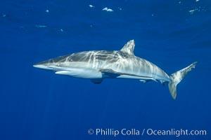 Silky Shark at San Benedicto Islands, Revillagigedos, Mexico. Socorro Island (Islas Revillagigedos), Baja California, Mexico, Carcharhinus falciformis, natural history stock photograph, photo id 33314