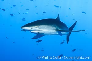 Silky Shark at San Benedicto Islands, Revillagigedos, Mexico. Socorro Island (Islas Revillagigedos), Baja California, Mexico, Carcharhinus falciformis, natural history stock photograph, photo id 33315
