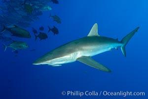 Silky Shark at San Benedicto Islands, Revillagigedos, Mexico. Socorro Island (Islas Revillagigedos), Baja California, Mexico, Carcharhinus falciformis, natural history stock photograph, photo id 33318