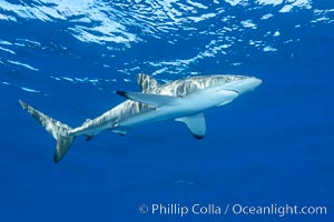 Silky Shark at San Benedicto Islands, Revillagigedos, Mexico. Socorro Island (Islas Revillagigedos), Baja California, Mexico, Carcharhinus falciformis, natural history stock photograph, photo id 33321