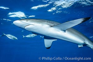 Silky Shark at San Benedicto Islands, Revillagigedos, Mexico. Socorro Island (Islas Revillagigedos), Baja California, Mexico, Carcharhinus falciformis, natural history stock photograph, photo id 33322