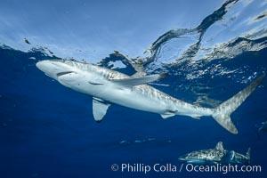 Silky Shark at San Benedicto Islands, Revillagigedos, Mexico. Socorro Island (Islas Revillagigedos), Baja California, Carcharhinus falciformis, natural history stock photograph, photo id 33326